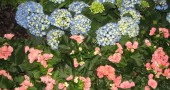 Grow gardens-Hydrangias and Geraniums