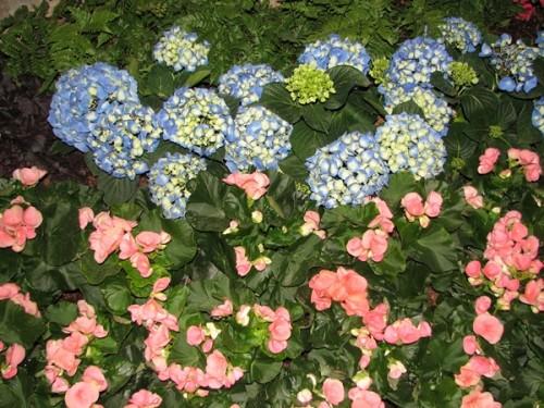 Grow gardens-Hydrangias and Geraniums