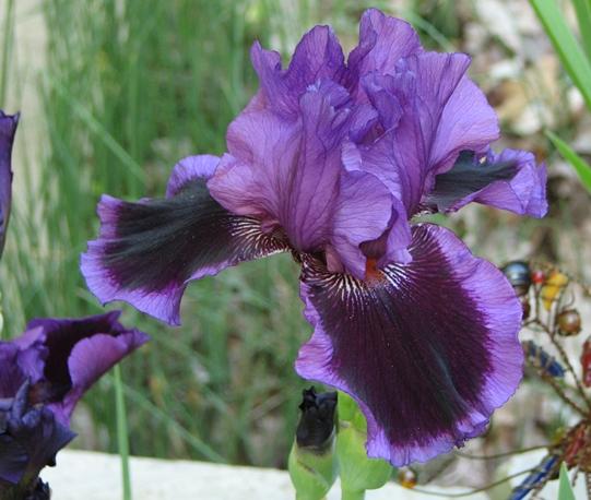 Gardening Purple Iris
