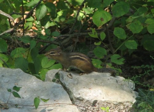Nature Photography-Chipmunk