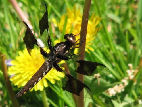 Nature Scavenger Hunt-Dragonfly