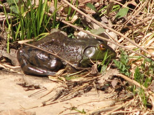 Nature Photography-bullfrog