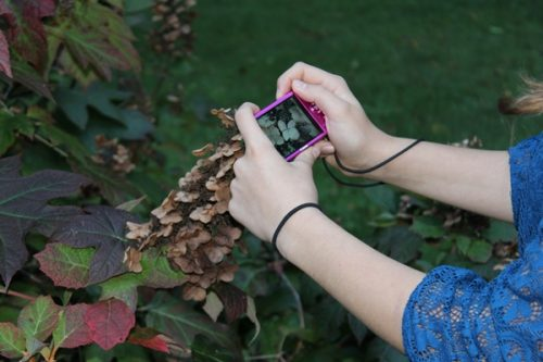 Nature Photography-taking picture of hydrangias