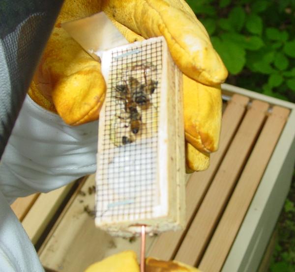 Queen bee in queen cage