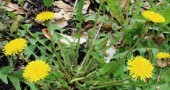 Learn About Dandelions