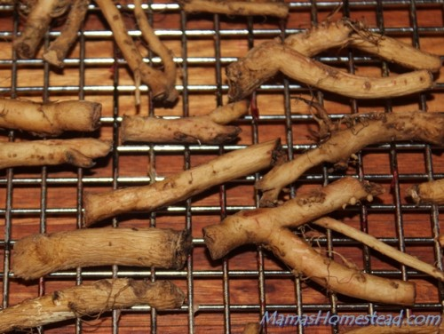 Dandelion Roots Ready to Dehydrate