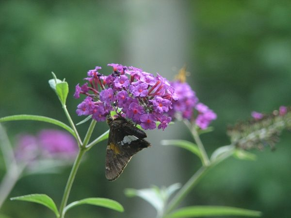 Nature Journal-Butterfly on Butterfly Bush